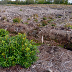 Resprouting Rhododendron at Aughrim Bog